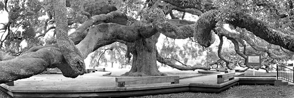 Treaty Oak, Jacksonville