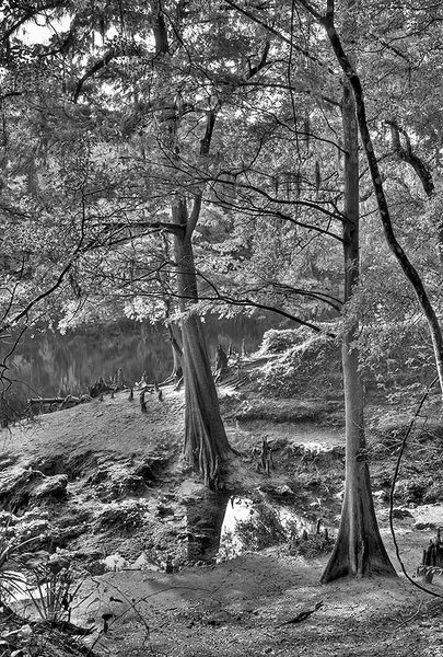 Suwannee River Cypress