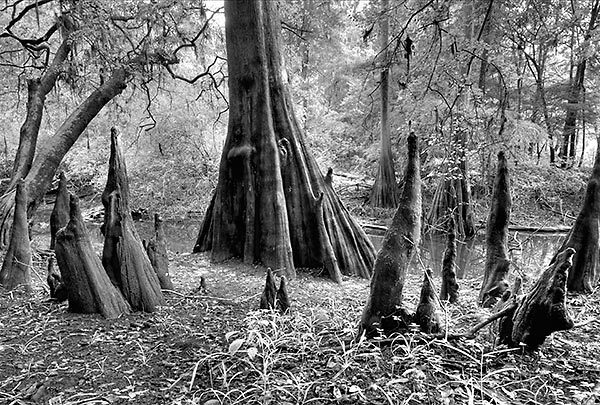 Suwannee Cypress Knees