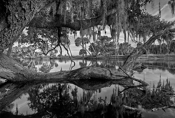 St. Johns River Sinking Oak
