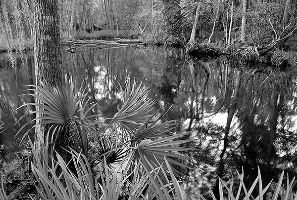St. Johns River Palmettos
