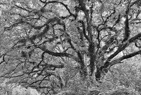 Old Kings Oaks