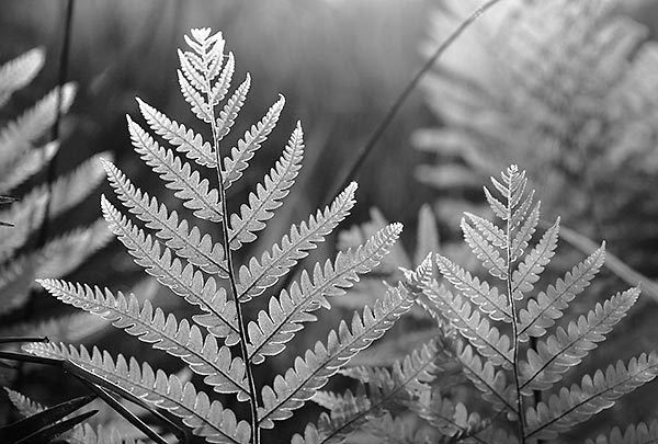 Sunset Ferns