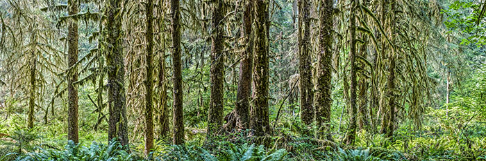 Hoh River Trees 