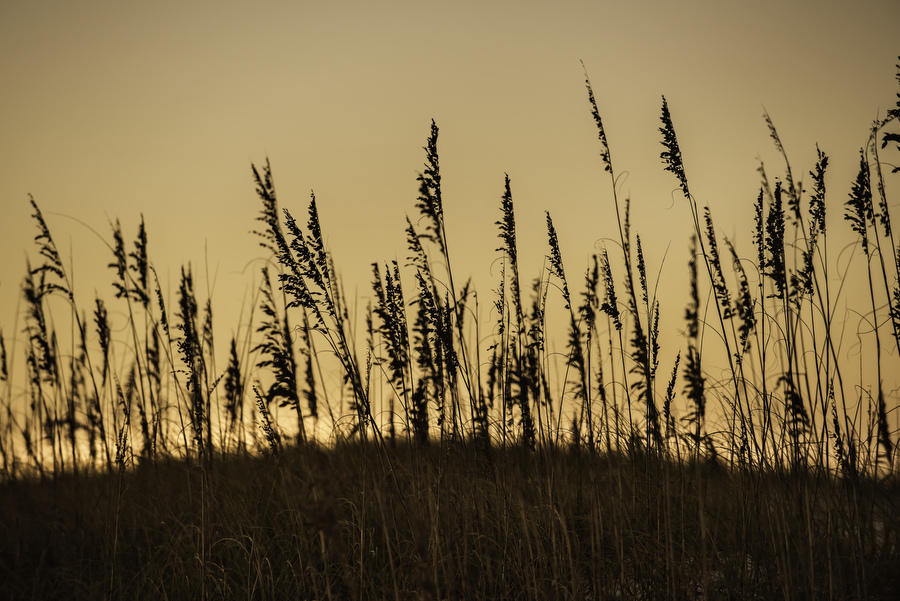 Sea Oats