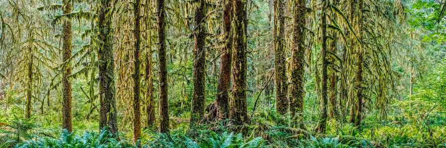 Hoh Rain Forest Panorama