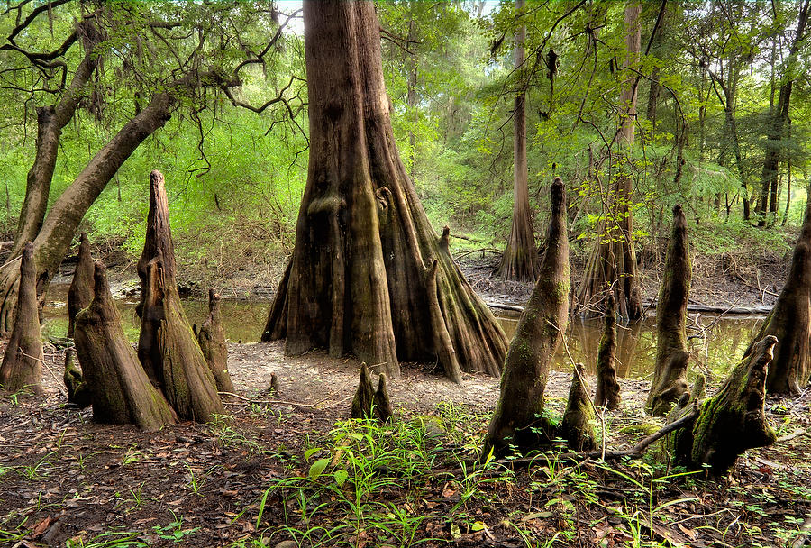 Suwannee Cypress Knees 081909-160  : Waterways and Woods  : Will Dickey Florida Nature Photography - Images of Florida's First Coast - Nature and Landscape Photographs of Jacksonville, St. Augustine, Florida nature preserves