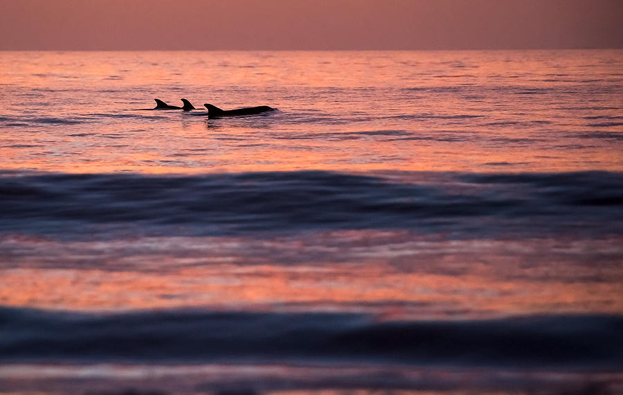 Dawn Dolphins     
