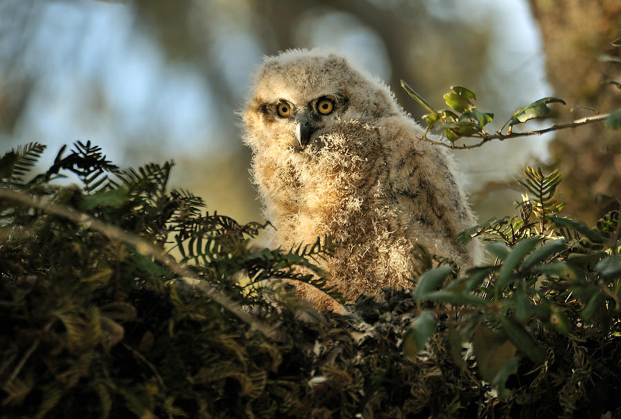 Great Horned Owl Chick 030710-88  : Critters : Will Dickey Florida Fine Art Nature and Wildlife Photography - Images of Florida's First Coast - Nature and Landscape Photographs of Jacksonville, St. Augustine, Florida nature preserves