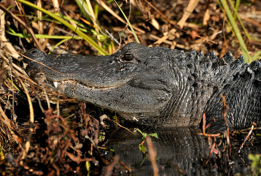 Smiling Gator        010111-439  : Critters : Will Dickey Florida Fine Art Nature and Wildlife Photography - Images of Florida's First Coast - Nature and Landscape Photographs of Jacksonville, St. Augustine, Florida nature preserves