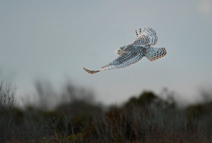Snowy Owl Flight  010614-393  : Critters : Will Dickey Florida Fine Art Nature and Wildlife Photography - Images of Florida's First Coast - Nature and Landscape Photographs of Jacksonville, St. Augustine, Florida nature preserves