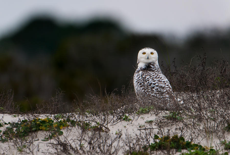 Snowy Owl Looking 010614-123  : Critters : Will Dickey Florida Fine Art Nature and Wildlife Photography - Images of Florida's First Coast - Nature and Landscape Photographs of Jacksonville, St. Augustine, Florida nature preserves