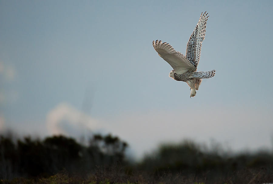 Snowy Owl Sunset 010614-391  : Critters : Will Dickey Florida Fine Art Nature and Wildlife Photography - Images of Florida's First Coast - Nature and Landscape Photographs of Jacksonville, St. Augustine, Florida nature preserves