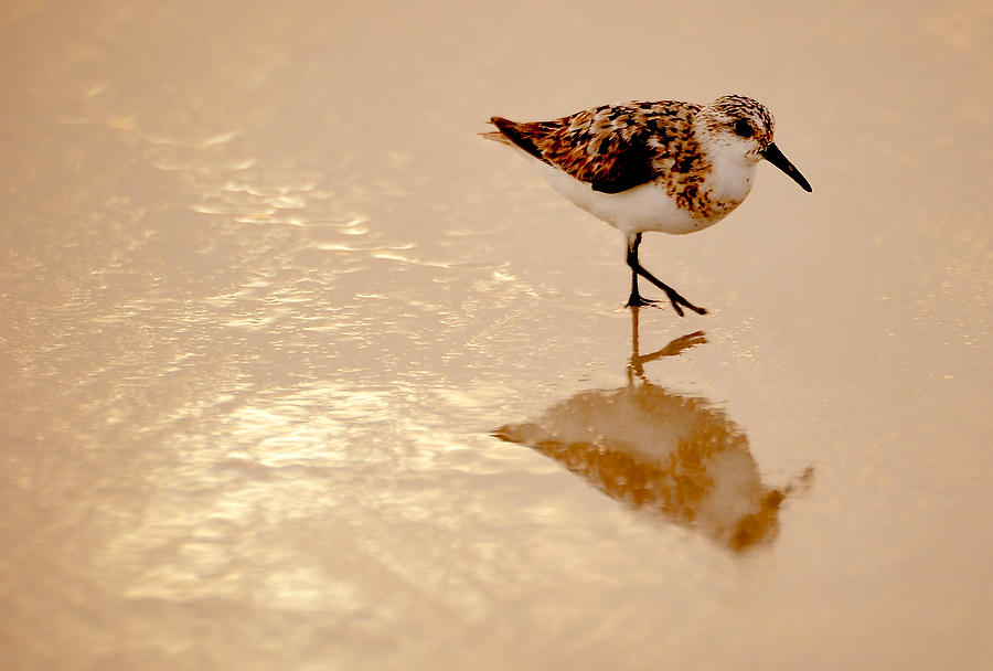 Sunrise Sandpiper 082609-303  : Critters : Will Dickey Florida Fine Art Nature and Wildlife Photography - Images of Florida's First Coast - Nature and Landscape Photographs of Jacksonville, St. Augustine, Florida nature preserves