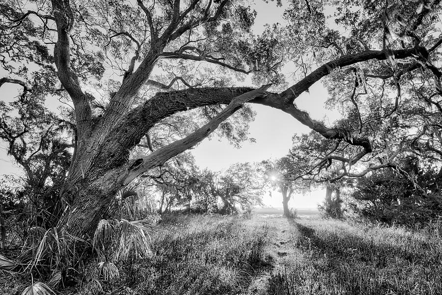 Cedar Point Oak   111916-206BW : Black and White : Will Dickey Florida Nature Photography - Images of Florida's First Coast - Nature and Landscape Photographs of Jacksonville, St. Augustine, Florida nature preserves