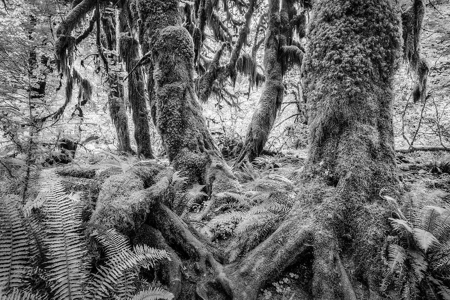 Hoh Rain Forest    070815-55BW : Black and White : Will Dickey Florida Nature Photography - Images of Florida's First Coast - Nature and Landscape Photographs of Jacksonville, St. Augustine, Florida nature preserves