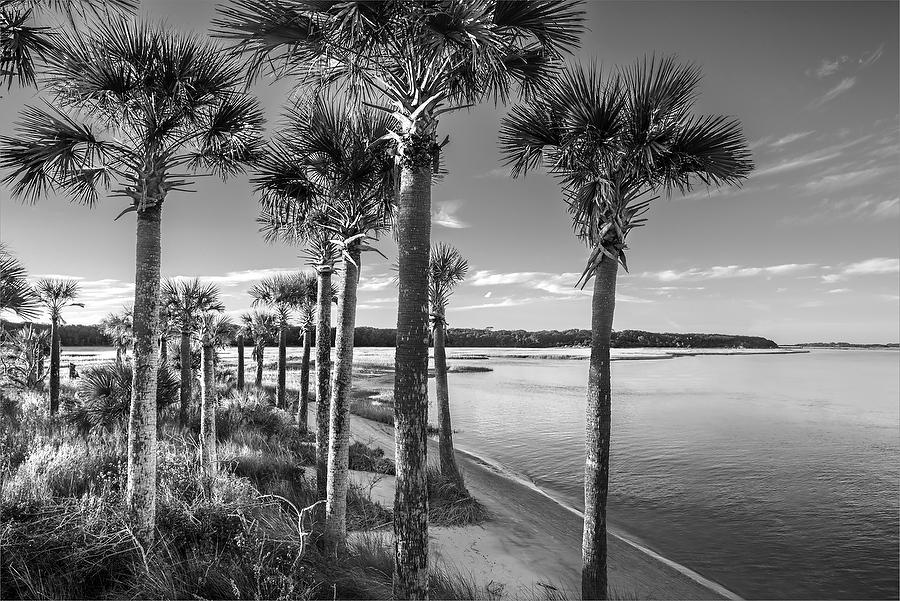 Alimacani Palms   112014-298BW  : Black and White : Will Dickey Florida Nature Photography - Images of Florida's First Coast - Nature and Landscape Photographs of Jacksonville, St. Augustine, Florida nature preserves
