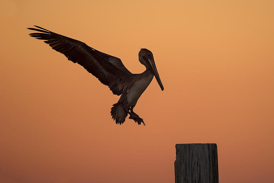 Pelican Landing    030318-108 : Critters : Will Dickey Florida Fine Art Nature and Wildlife Photography - Images of Florida's First Coast - Nature and Landscape Photographs of Jacksonville, St. Augustine, Florida nature preserves