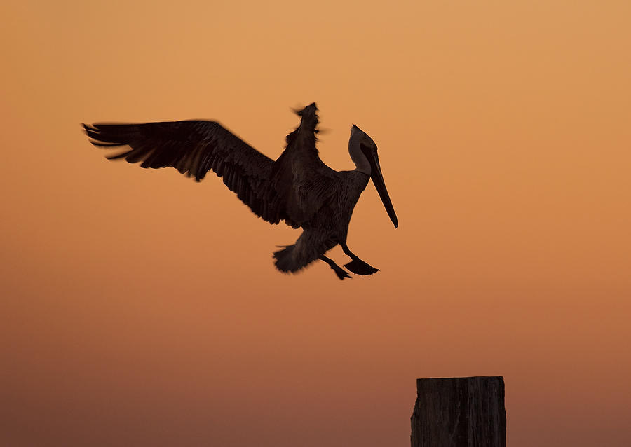 Pelican Landing    030318-144 : Critters : Will Dickey Florida Fine Art Nature and Wildlife Photography - Images of Florida's First Coast - Nature and Landscape Photographs of Jacksonville, St. Augustine, Florida nature preserves
