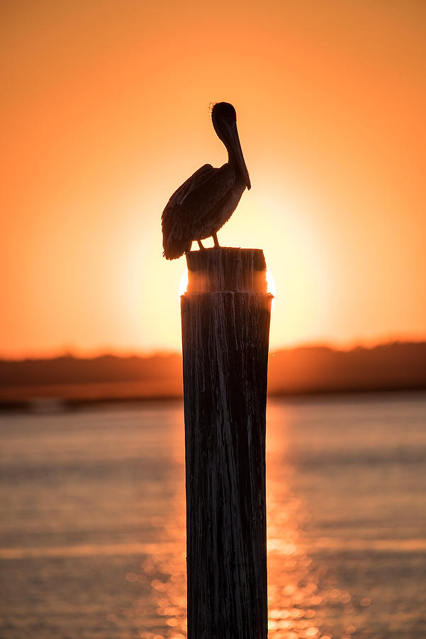 Pelican Sunset      030318-53 : Critters : Will Dickey Florida Fine Art Nature and Wildlife Photography - Images of Florida's First Coast - Nature and Landscape Photographs of Jacksonville, St. Augustine, Florida nature preserves
