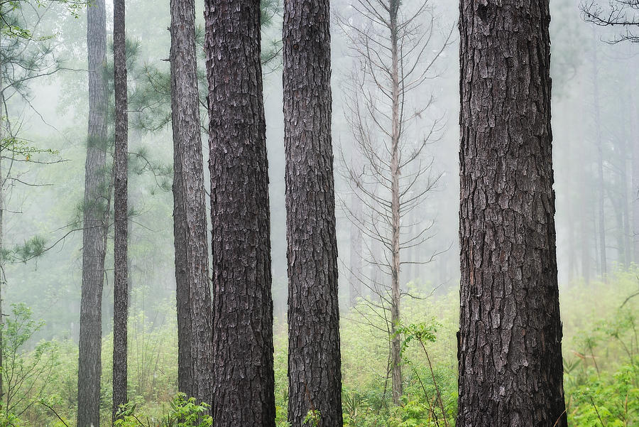Piney Woods Fog  041219-161 : Waterways and Woods  : Will Dickey Florida Nature Photography - Images of Florida's First Coast - Nature and Landscape Photographs of Jacksonville, St. Augustine, Florida nature preserves