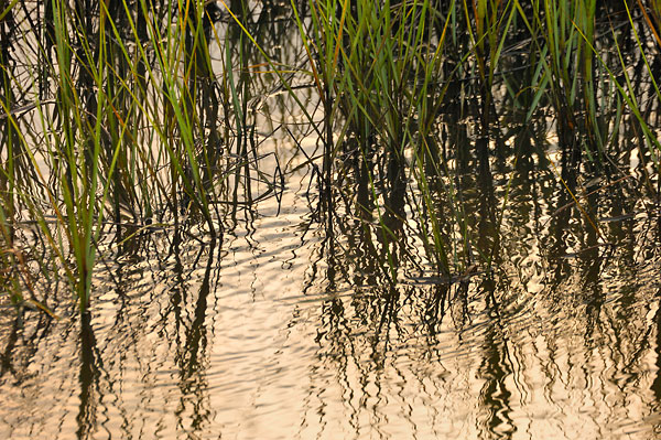 Marsh Grass Reflections